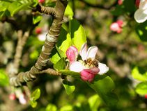 Bee on Apple Blossom Royalty Free Stock Photo