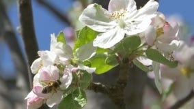 Bee on Apple Blossom stock footage
