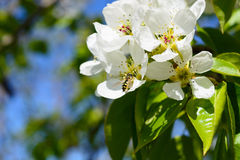 Bee on apple blossom. Closeup of a beautiful spring against blue sky, shallow field royalty free stock images