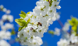 Bee on apple blossom; closeup of a beautiful spring apple tree a Royalty Free Stock Image