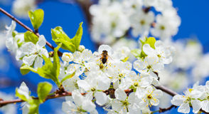 Bee on apple blossom; closeup of a beautiful spring apple tree a. Gainst blue sky, shallow field Royalty Free Stock Photos