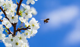 Bee on apple blossom; closeup of a beautiful spring apple tree a Stock Photography