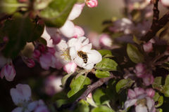 Bee on apple blossom. Royalty Free Stock Image