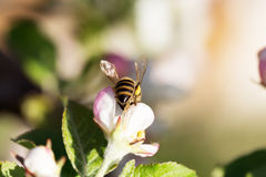 Bee on apple blossom. Royalty Free Stock Images