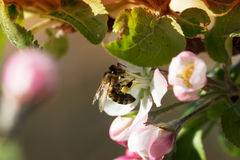 Bee on apple blossom. Royalty Free Stock Photo