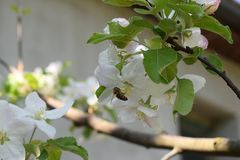 Bee on an apple flower.  royalty free stock photos