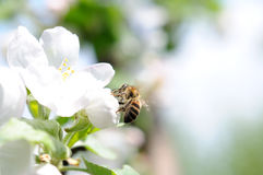 Bee on apple flower stock photography