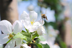 Bee and apple flower Stock Image