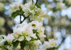Bee on apple flower in spring garden Stock Photo