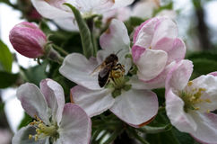 Bee, apple flowers Royalty Free Stock Photography