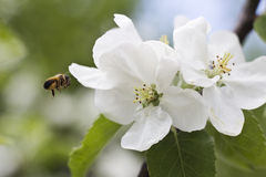 Bee and apple flowers Royalty Free Stock Images