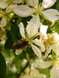 Bee on apple`s flower. Pollination of apple tree Royalty Free Stock Image