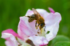 Bee in an apple tree blossom Royalty Free Stock Photo