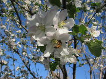 Bee in Apple Tree Blossom and Blue Sky Royalty Free Stock Images