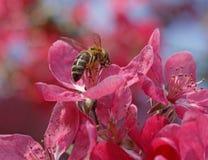 Bee on apple tree blossom Royalty Free Stock Photos