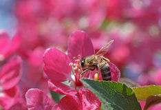 Bee on apple tree blossom Royalty Free Stock Photography