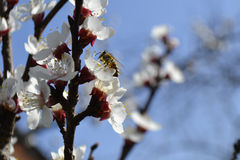 Bee on the apple tree. A bee collecting polen from apple tree during spring time Royalty Free Stock Photography