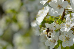Bee and apple tree flowers. Bee and cherry tree flowers. Spring. Diligence work stock photos