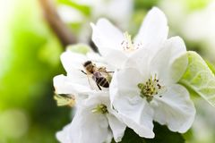 Bee on the apple tree flowers. Spring in the garden royalty free stock images