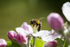 Bee and apple tree Stock Images
