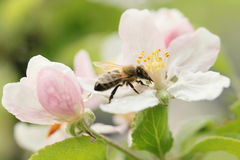 Bee and apple tree Stock Image