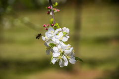 Bee on apple tree white flower. Bee on white flower collecting pollen in apple tree Royalty Free Stock Photography