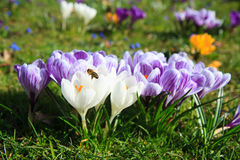 Bee approaching a bunch of crocus Royalty Free Stock Photo