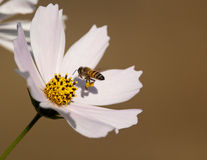 Bee approaching cosmos Stock Photography