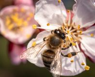 Bee on apricot flower stock images