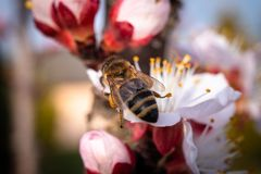 Bee on apricot flower stock photography