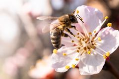 Bee on apricot flower royalty free stock images