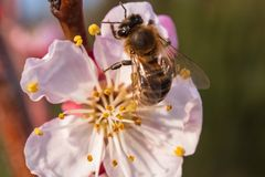 Bee on apricot flower stock photo