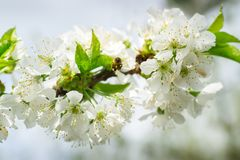 Cherry Blossom Fliing Bee. A bee is aproaching the cherry blossom stock image