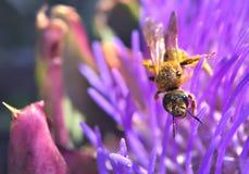 Bee on artichoke flower. Blurry Royalty Free Stock Image