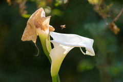 Bee and Arum Lily Stock Image