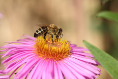 Bee on a aster. Stock Images