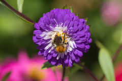 Bee on aster Stock Photo
