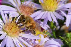 Bee on aster flower royalty free stock images