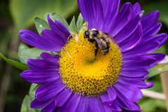 Bee on Aster flower Stock Photo