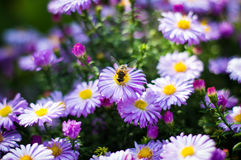 Bee on Aster Royalty Free Stock Photography