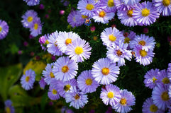 Bee on Aster Royalty Free Stock Photo