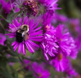 Bee on aster Stock Photos