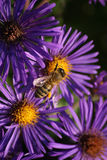 Bee on Asters Stock Image
