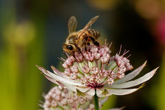 Bee in Astrantia Major Stock Photos