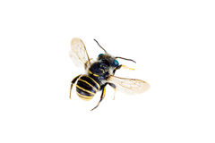 Bee, Australian native species Stock Photography
