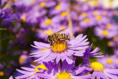 Bee on the Autumn Flowers Royalty Free Stock Photos