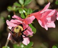 Bee on azalea. Blooming in the garden Stock Photo