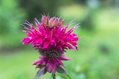 Bee balm with bokeh background. Closeup red bee balm with details and soft blurred background. Flower head, flora, bloom, blossom, beautiful summer garden plant royalty free stock photo