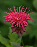 Bee balm, an edible flower Royalty Free Stock Photo