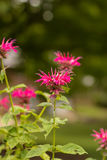 Bee Balm Stock Images